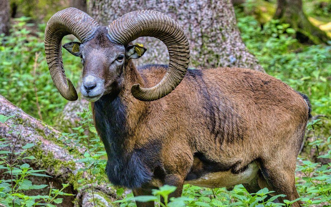 Záchrana muflona